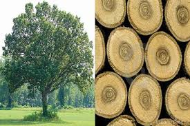 Giới thiệu khái quát về gỗ sồi Nga